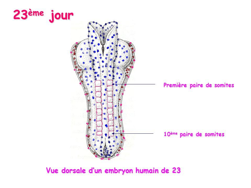 23ème jour Première paire de somites 10ème paire de somites