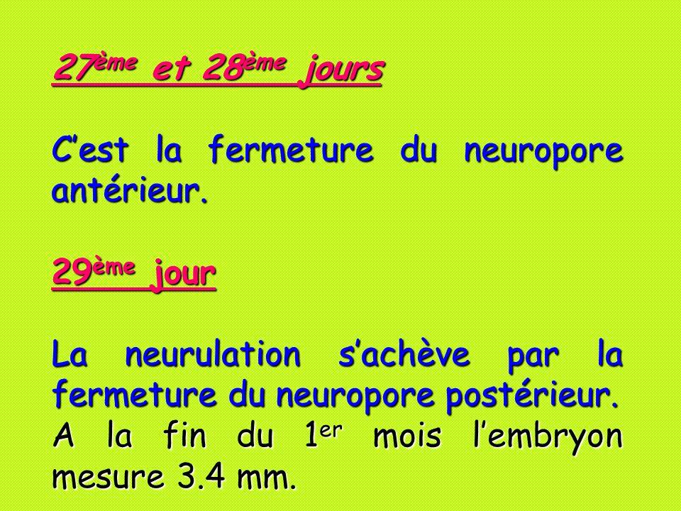 27ème et 28ème jours C'est la fermeture du neuropore antérieur. 29ème jour. La neurulation s'achève par la fermeture du neuropore postérieur.