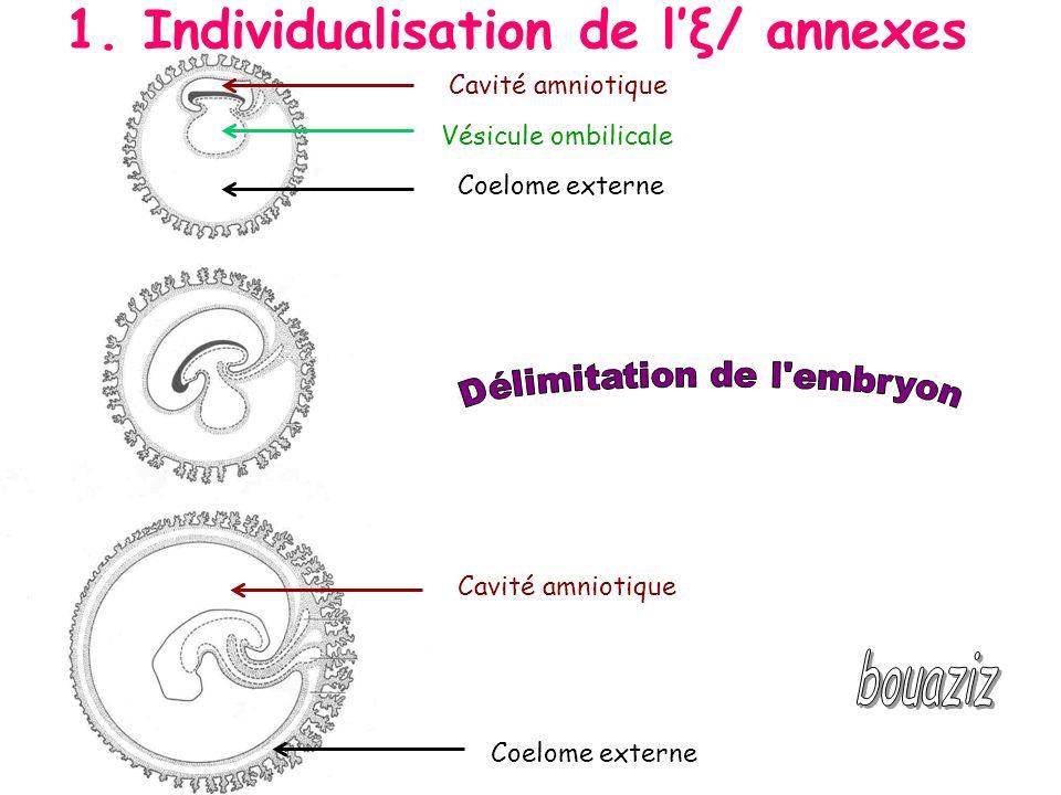 Délimitation de l embryon