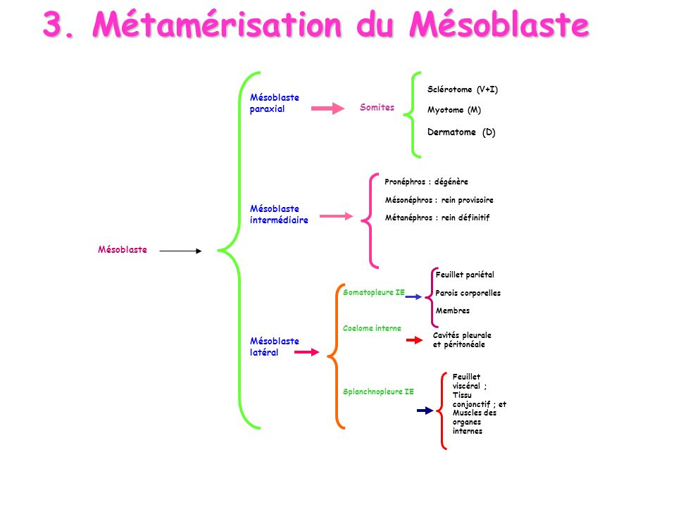 3. Métamérisation du Mésoblaste