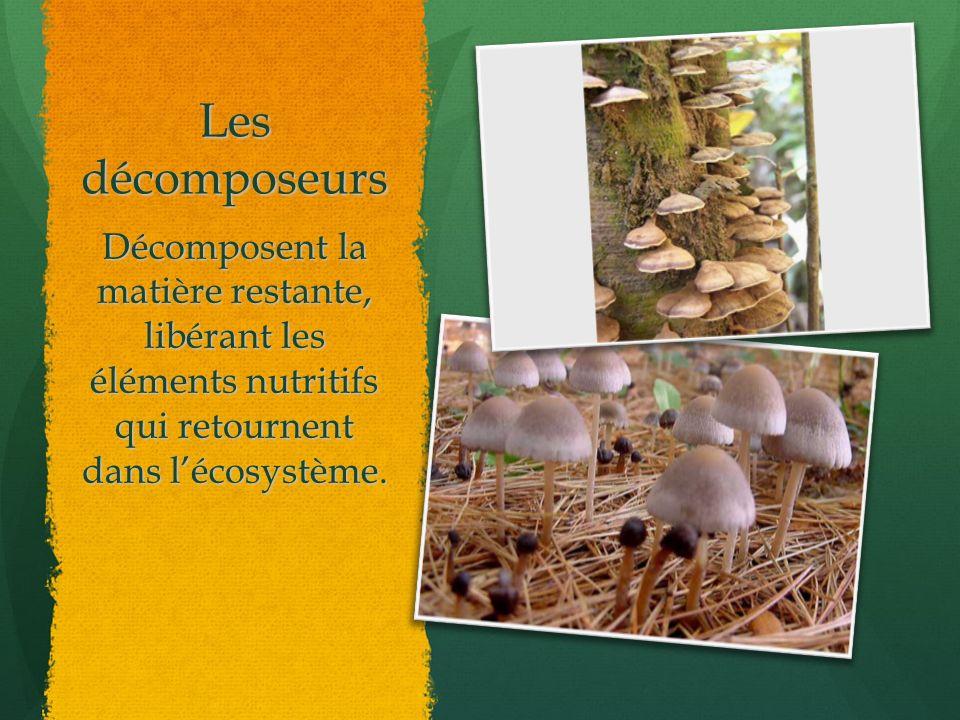 Les décomposeurs Décomposent la matière restante, libérant les éléments nutritifs qui retournent dans l'écosystème.