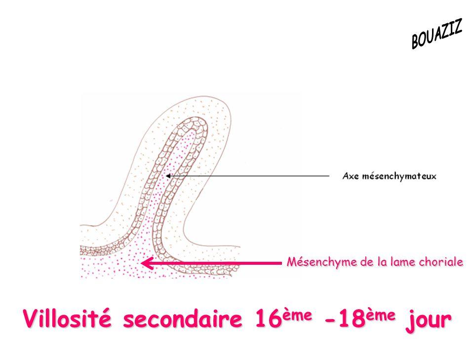 Villosité secondaire 16ème -18ème jour