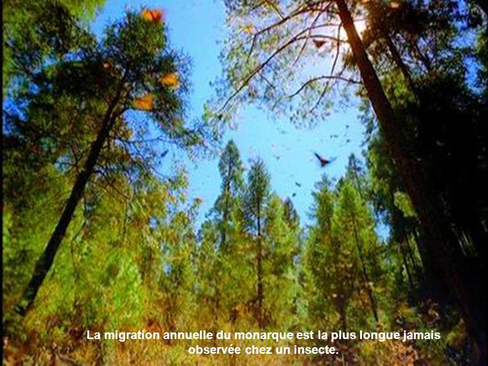 OK La migration annuelle du monarque est la plus longue jamais observée chez un insecte.