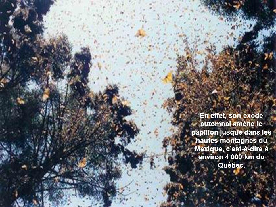 En effet, son exode automnal amène le papillon jusque dans les hautes montagnes du Mexique, c'est-à-dire à environ 4 000 km du Québec.
