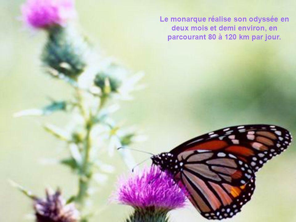 Le monarque réalise son odyssée en deux mois et demi environ, en parcourant 80 à 120 km par jour.