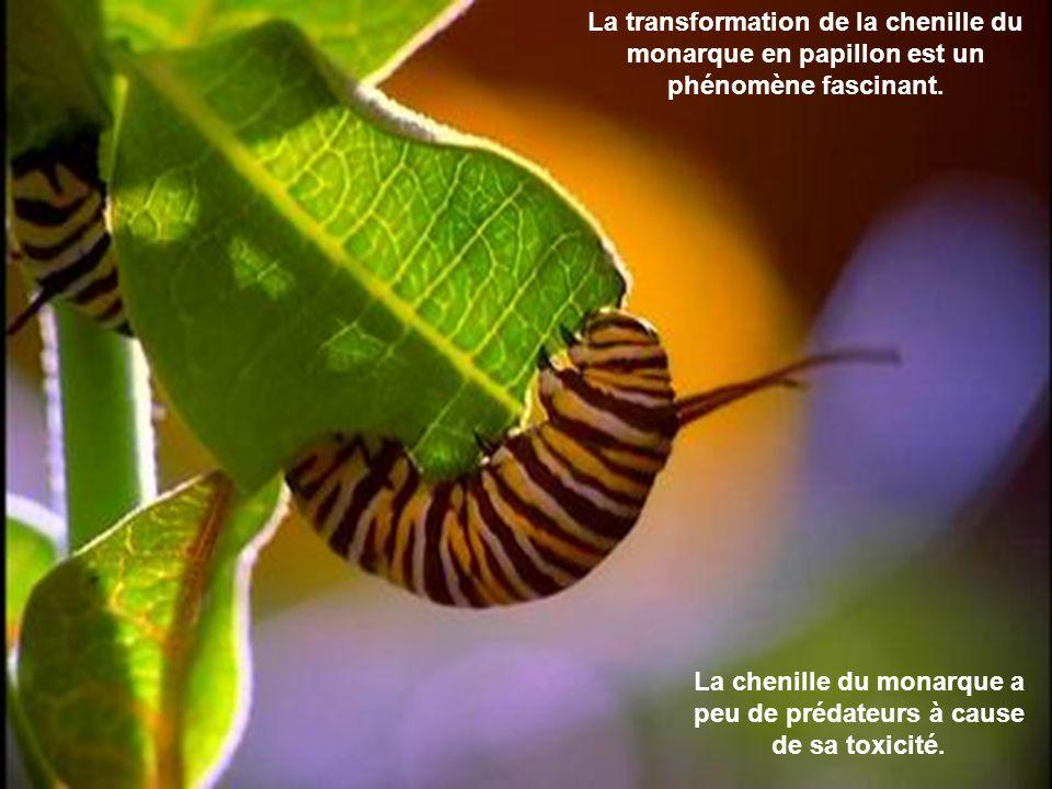 La chenille du monarque a peu de prédateurs à cause de sa toxicité.
