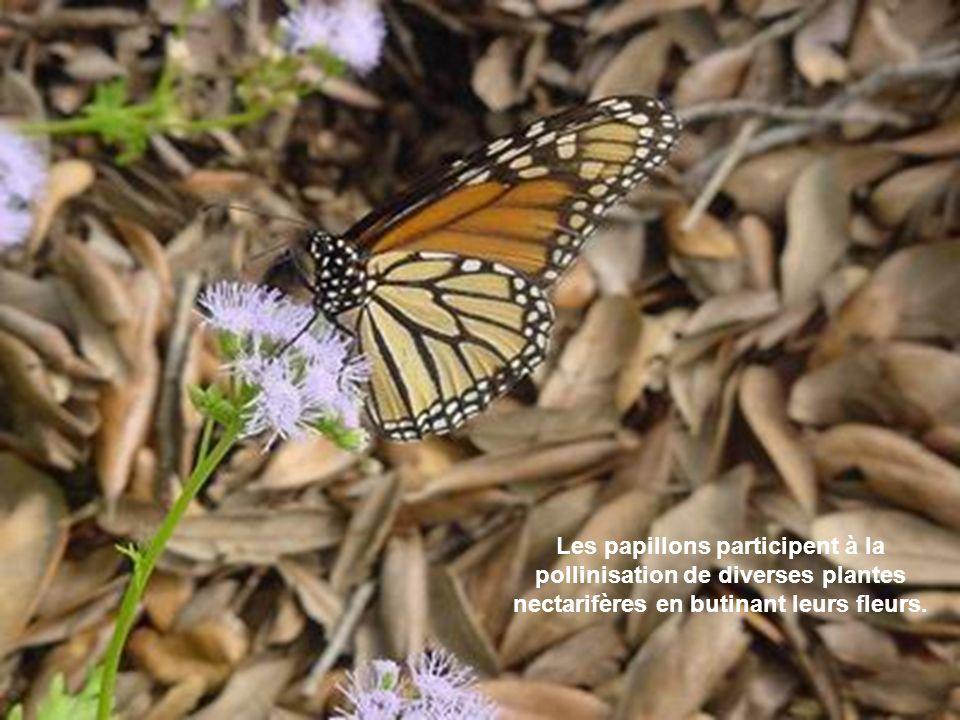 OK Les papillons participent à la pollinisation de diverses plantes nectarifères en butinant leurs fleurs.