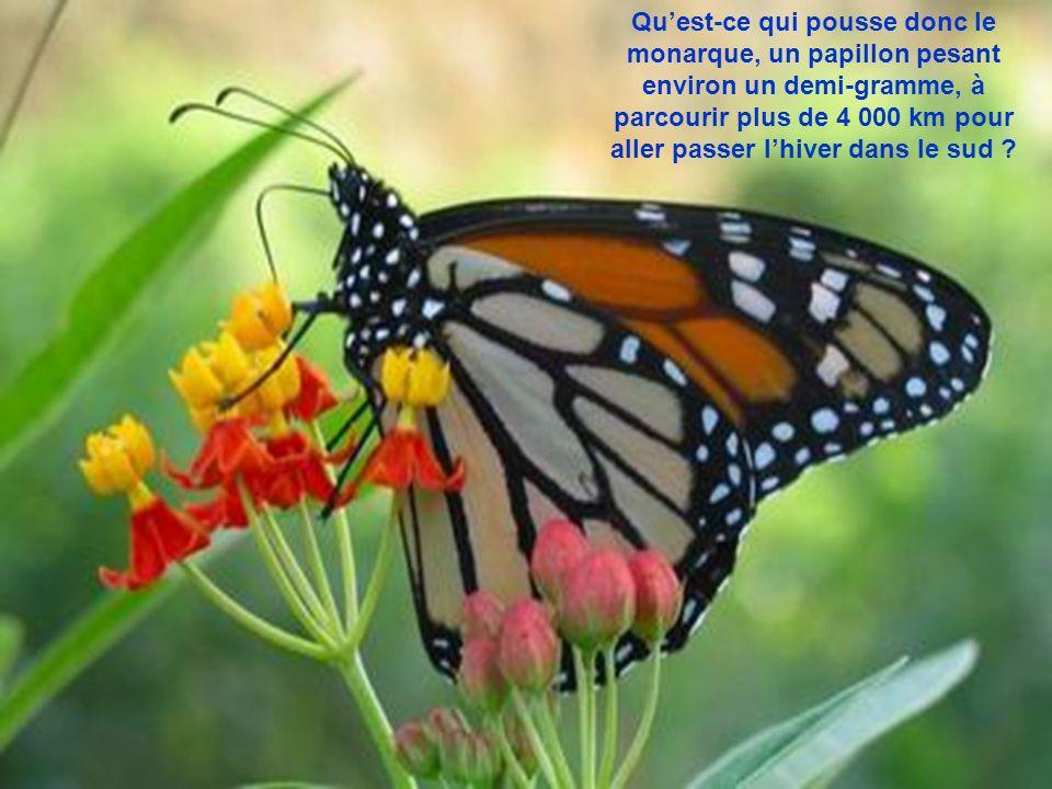 Qu'est-ce qui pousse donc le monarque, un papillon pesant environ un demi-gramme, à parcourir plus de 4 000 km pour aller passer l'hiver dans le sud
