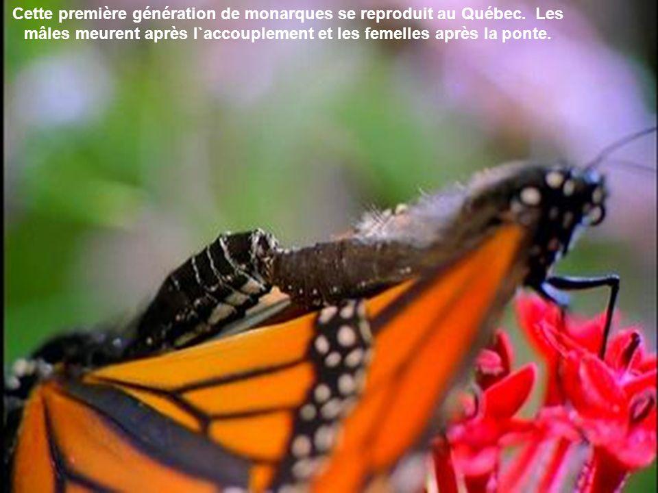 Cette première génération de monarques se reproduit au Québec
