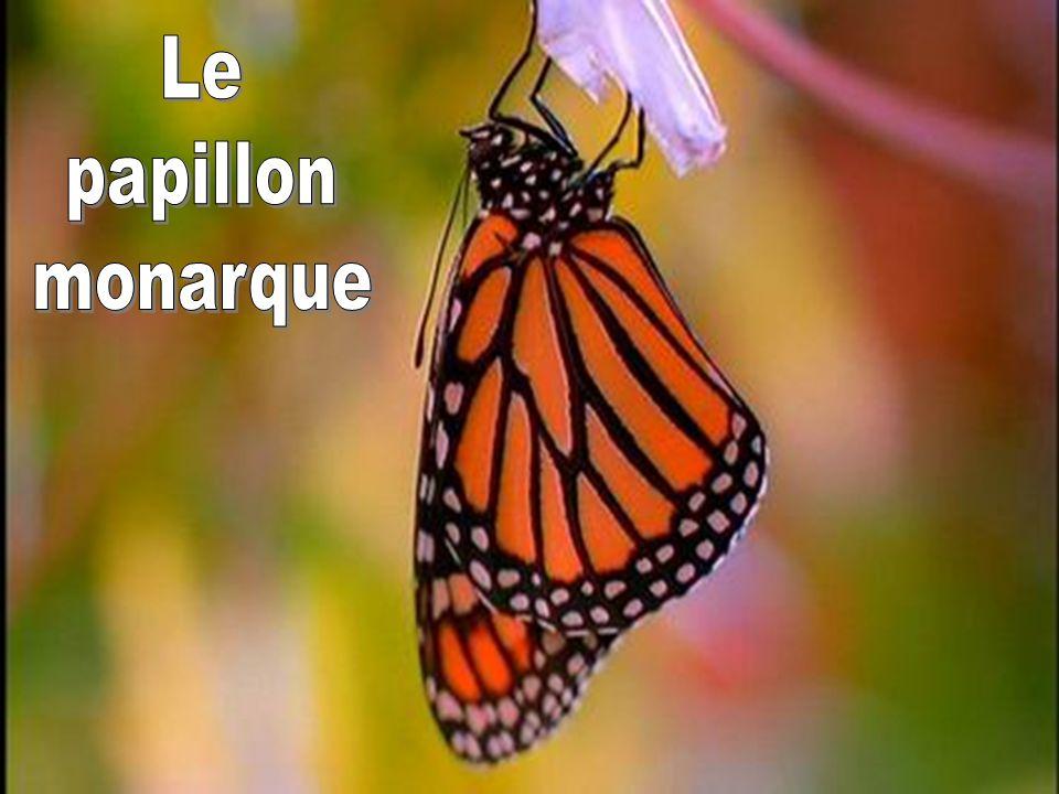 Le papillon. monarque. Je serais porté à mettre une majuscule au mot Monarque et ne pas mettre de majuscule au mot papillon.