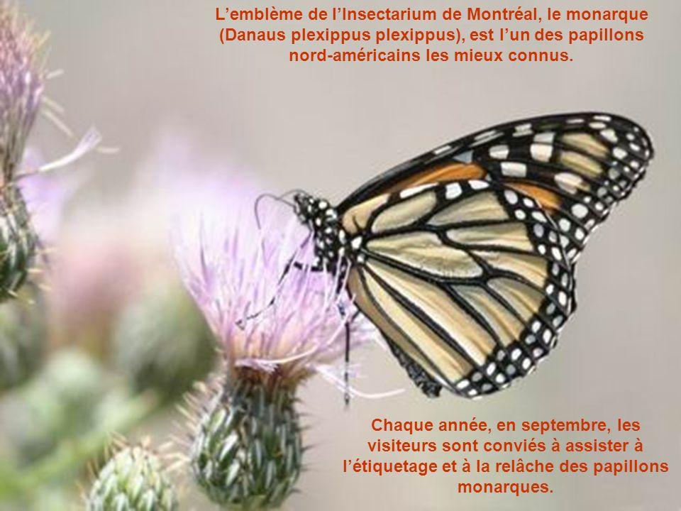 L'emblème de l'Insectarium de Montréal, le monarque (Danaus plexippus plexippus), est l'un des papillons nord-américains les mieux connus.