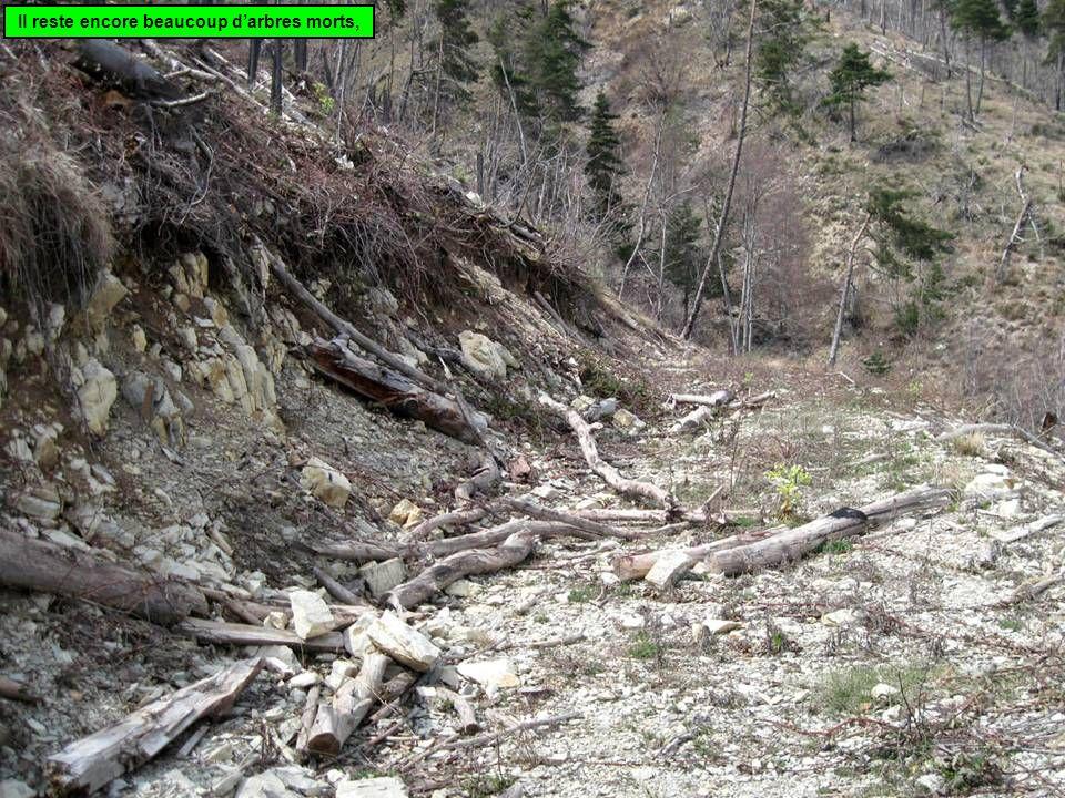 Il reste encore beaucoup d'arbres morts,