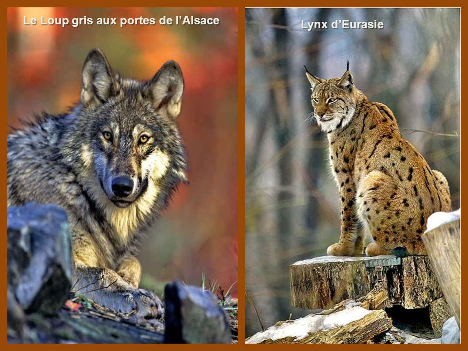 Le Loup gris aux portes de l'Alsace