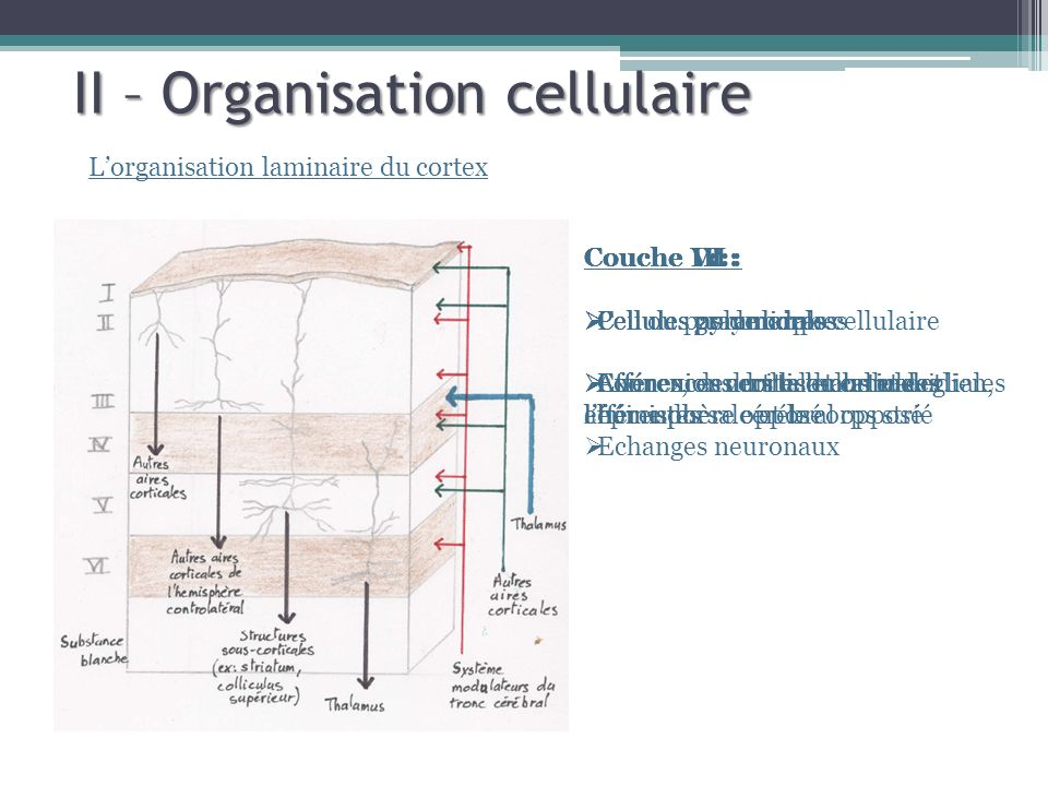 II – Organisation cellulaire