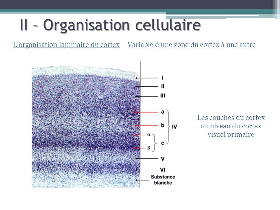 Les couches du cortex au niveau du cortex visuel primaire