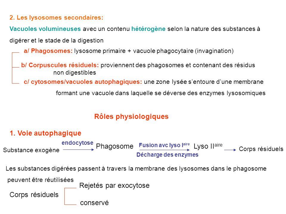 Rôles physiologiques 1. Voie autophagique Phagosome Lyso IIaire