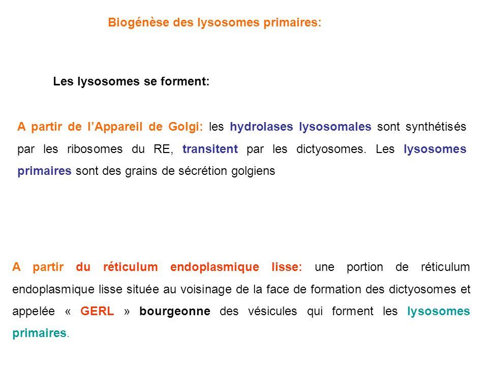 Biogénèse des lysosomes primaires:
