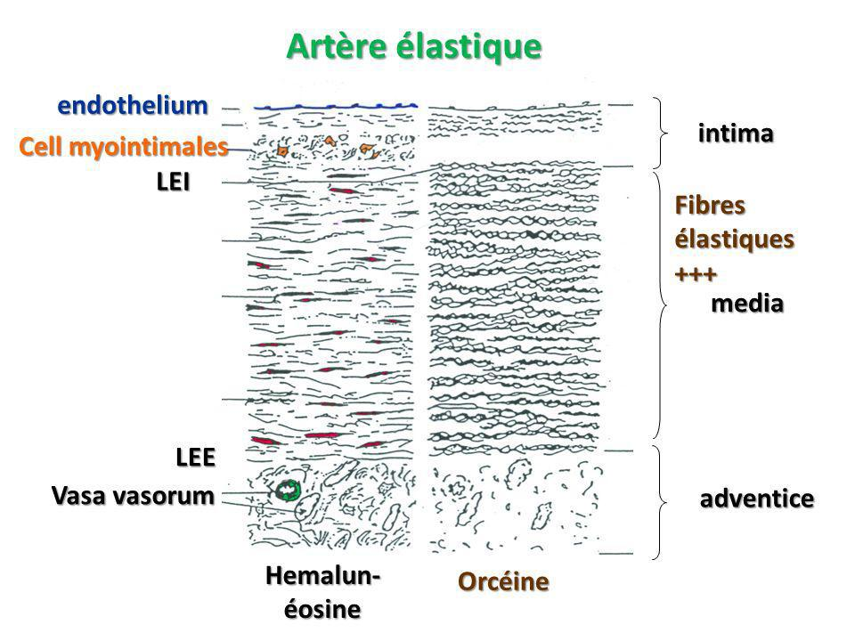 Artère élastique endothelium intima Cell myointimales LEI
