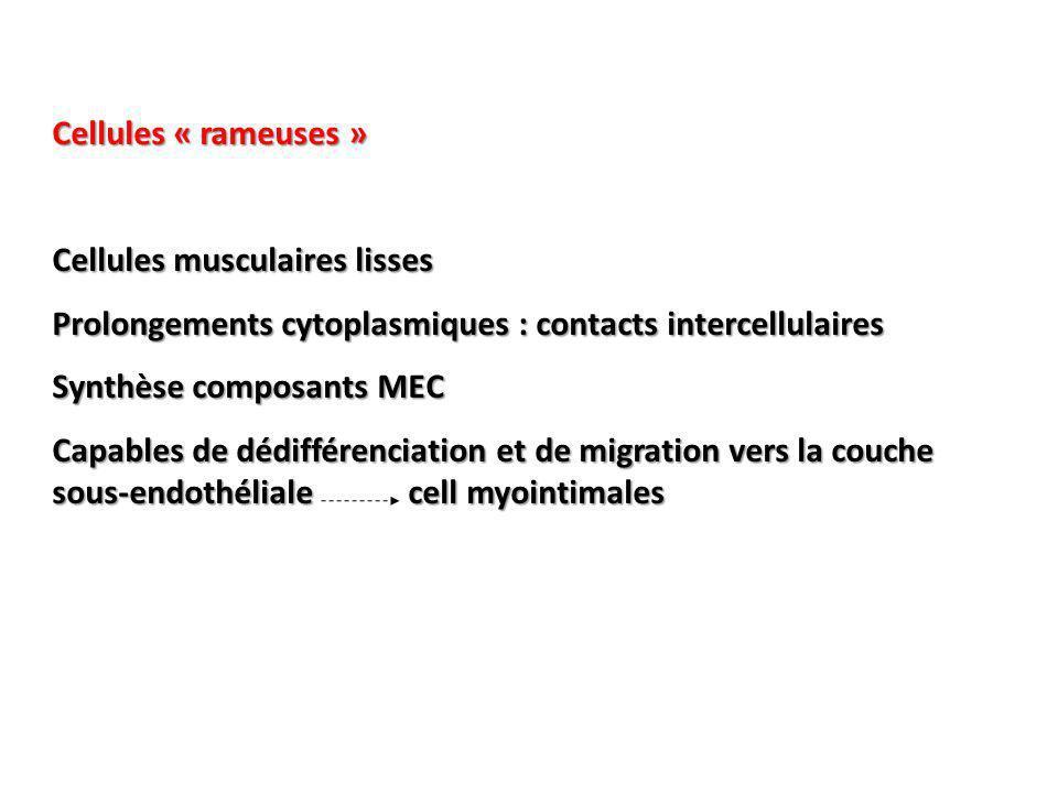 Cellules « rameuses » Cellules musculaires lisses. Prolongements cytoplasmiques : contacts intercellulaires.