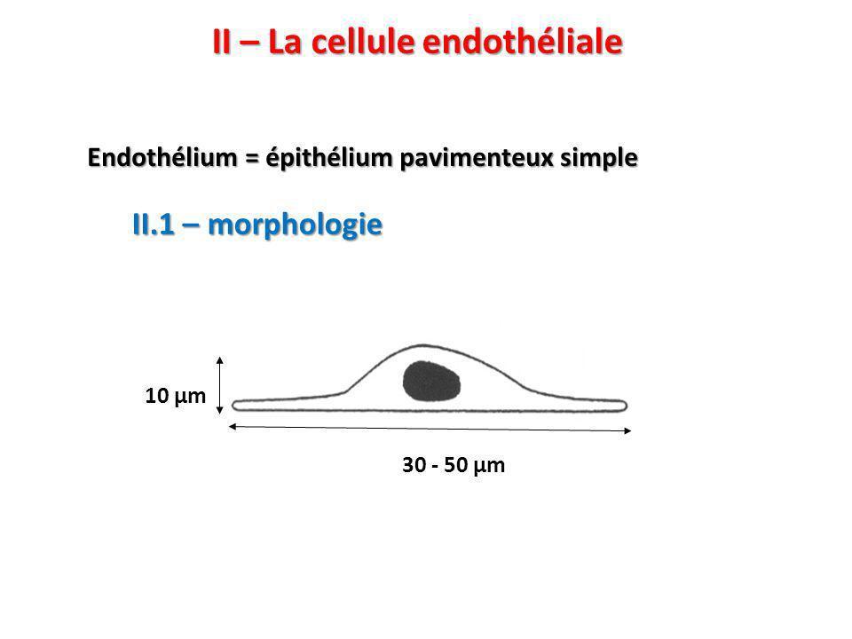 II – La cellule endothéliale