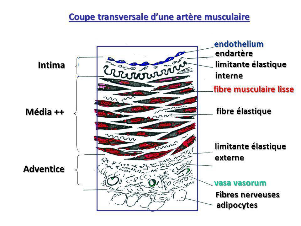Coupe transversale d'une artère musculaire