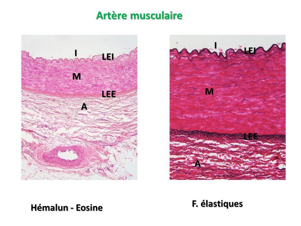 Artère musculaire I LEI I LEI M M LEE A LEE A F. élastiques