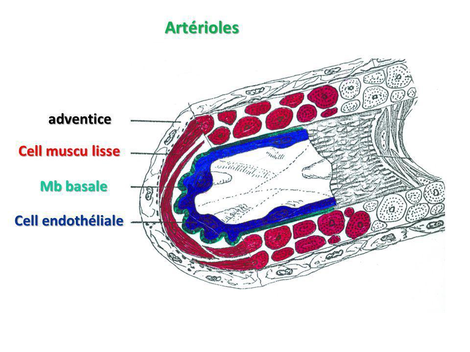 Artérioles adventice Cell muscu lisse Mb basale Cell endothéliale