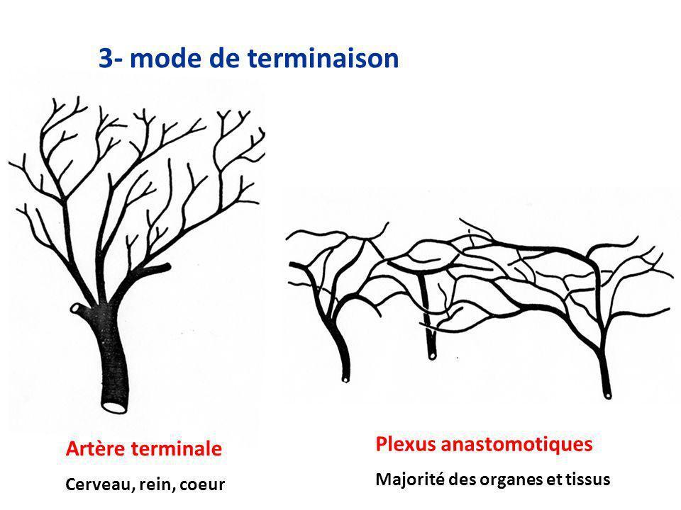 3- mode de terminaison Plexus anastomotiques Artère terminale