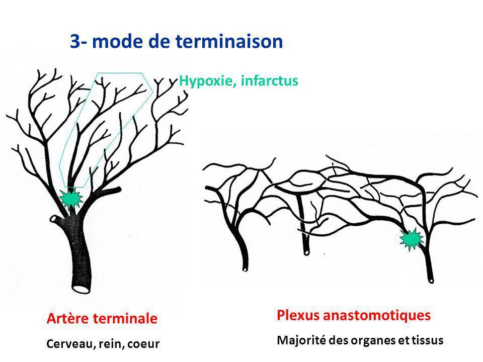 3- mode de terminaison Hypoxie, infarctus Plexus anastomotiques