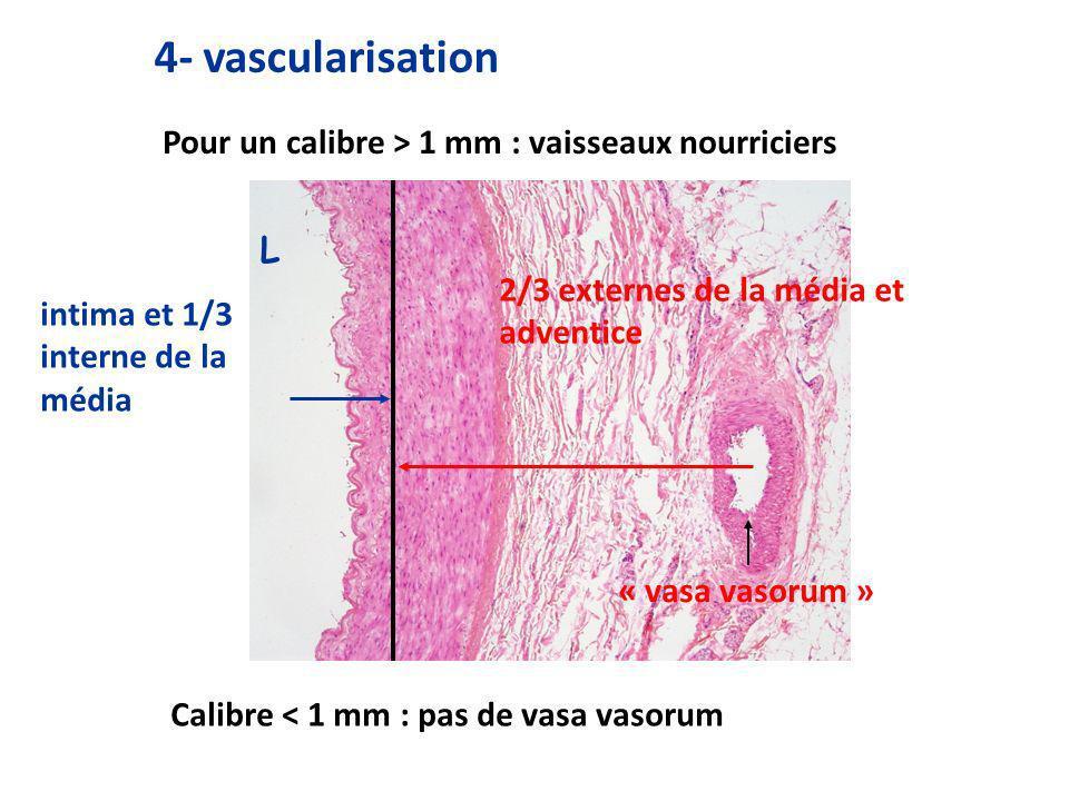 4- vascularisation Pour un calibre > 1 mm : vaisseaux nourriciers L