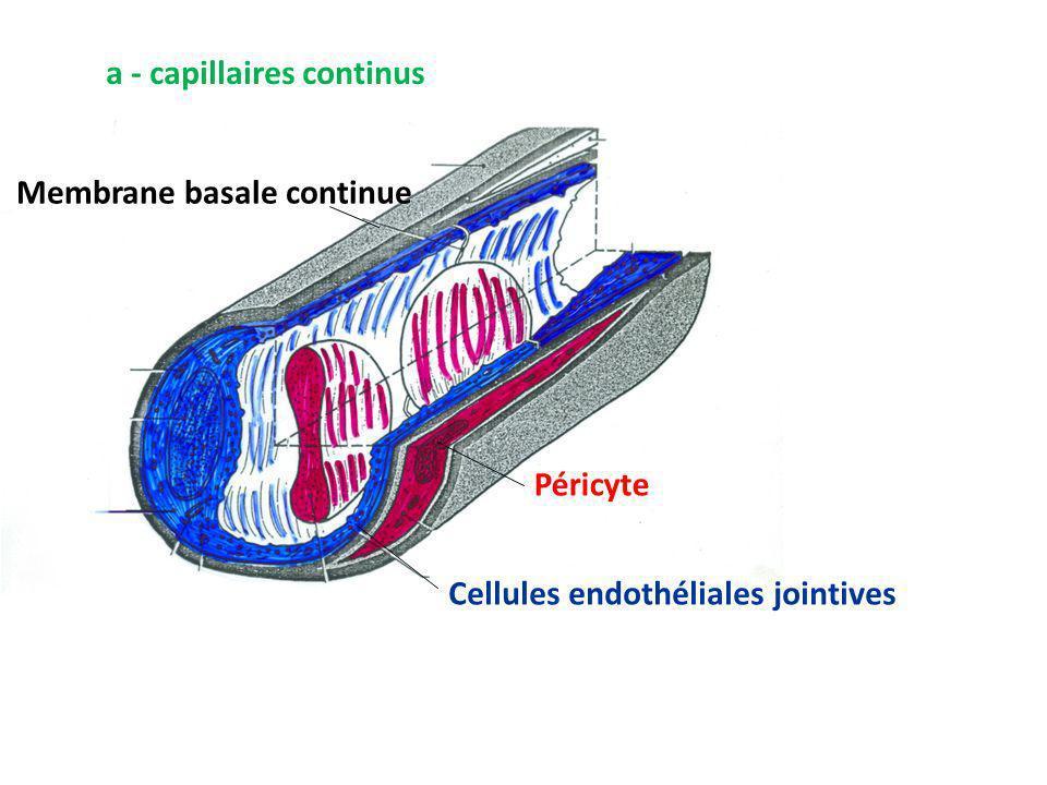 a - capillaires continus