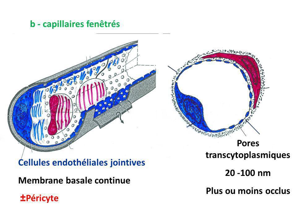 Pores transcytoplasmiques
