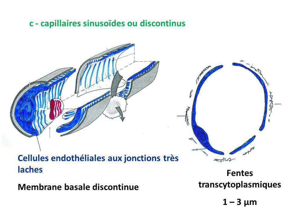 Fentes transcytoplasmiques