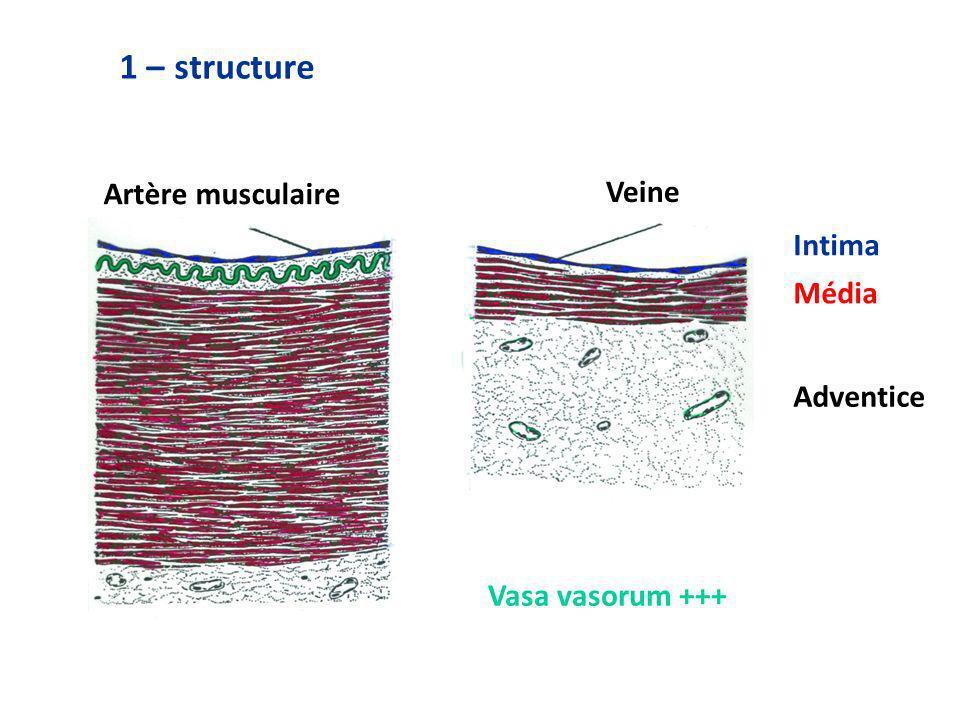 1 – structure Artère musculaire Veine Intima Média Adventice