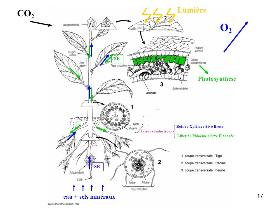 O2 CO2 Lumière Photosynthèse eau + sels minéraux SE SB