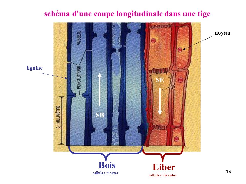 Bois Liber schéma d une coupe longitudinale dans une tige SE SB noyau