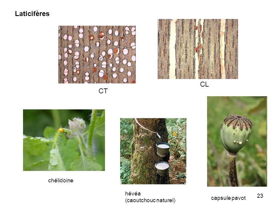 Laticifères CL CT chélidoine hévéa (caoutchouc naturel) capsule pavot