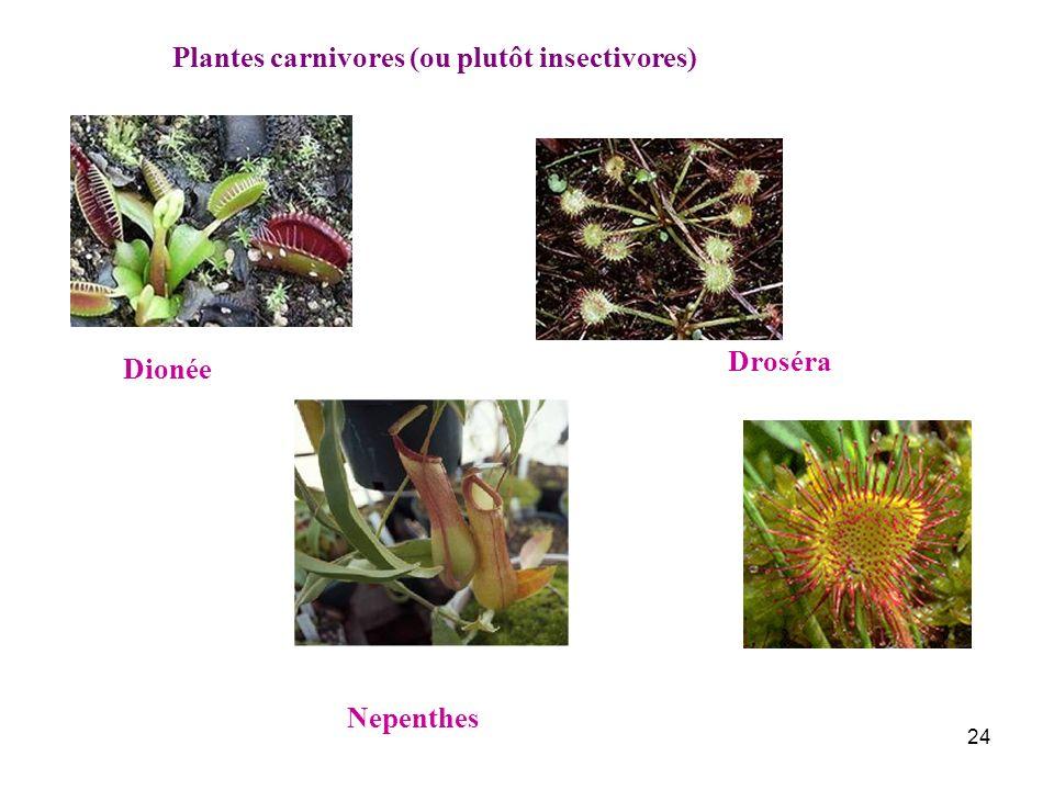 Plantes carnivores (ou plutôt insectivores)