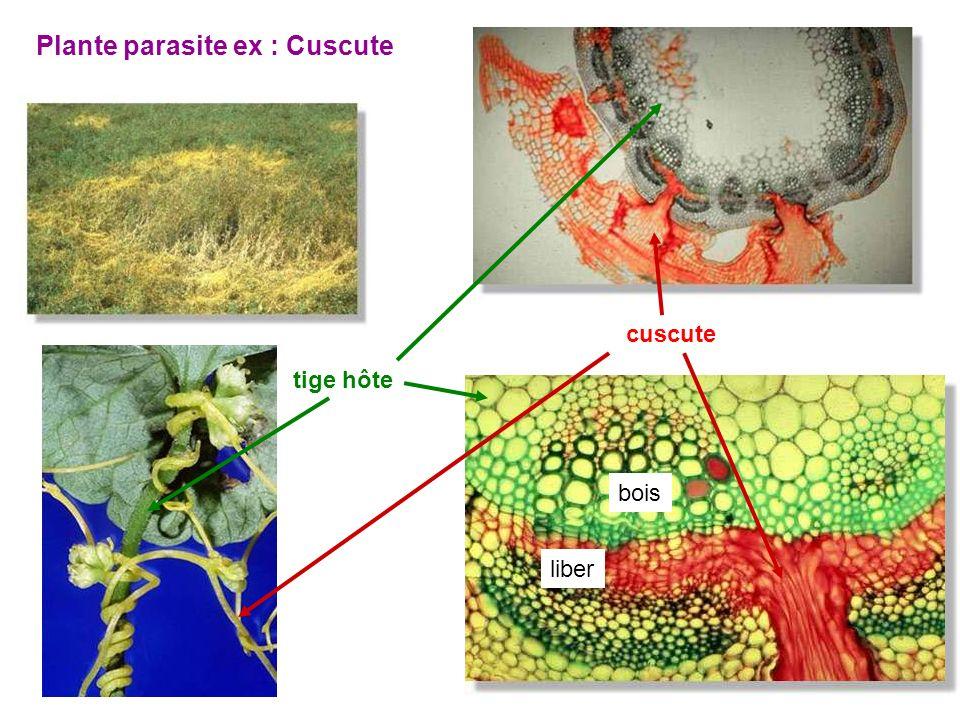 Plante parasite ex : Cuscute