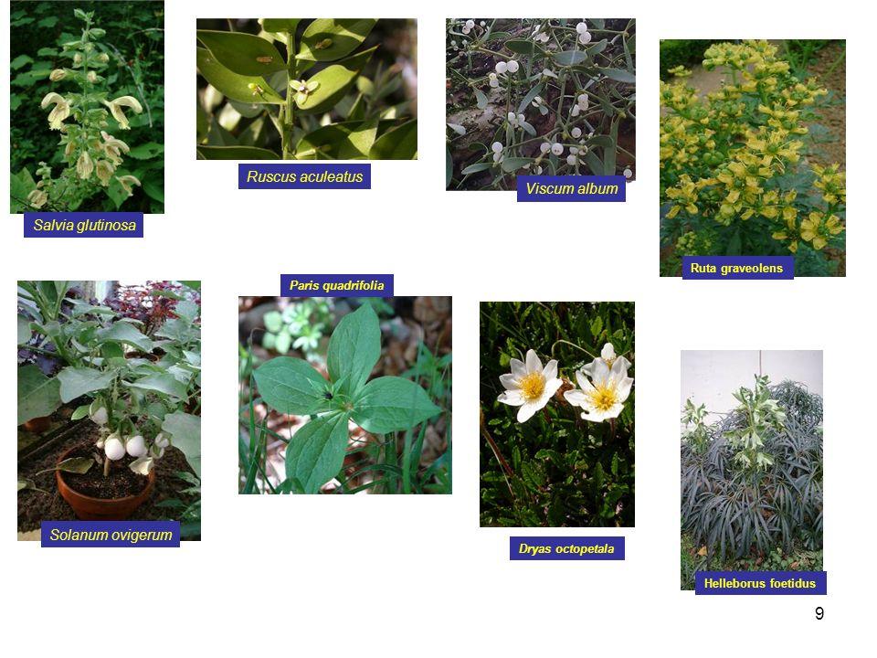 Ruscus aculeatus Viscum album Salvia glutinosa Solanum ovigerum
