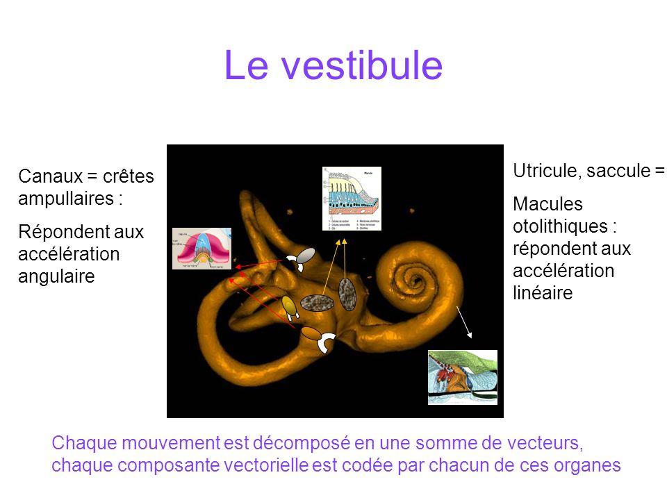 Le vestibule Utricule, saccule = Canaux = crêtes ampullaires :