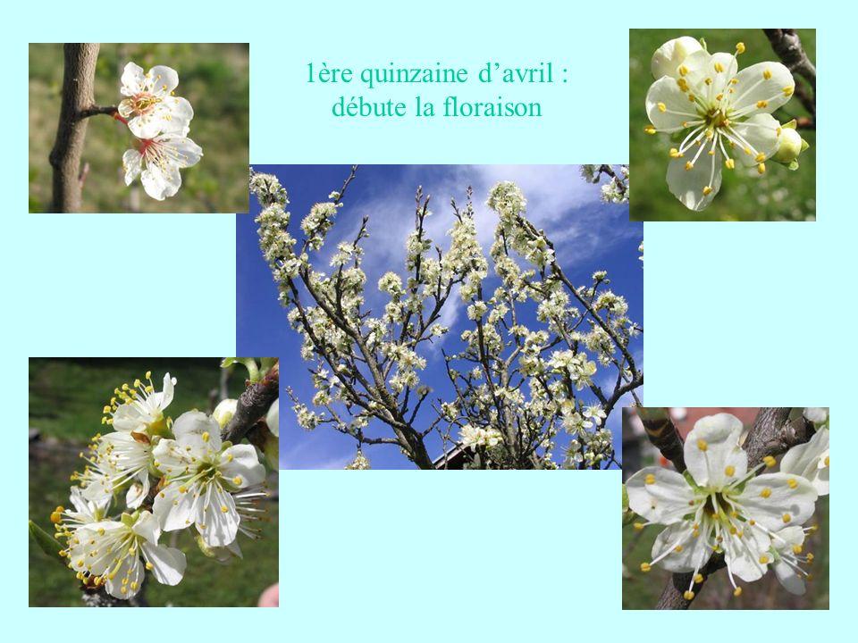 1ère quinzaine d'avril : débute la floraison