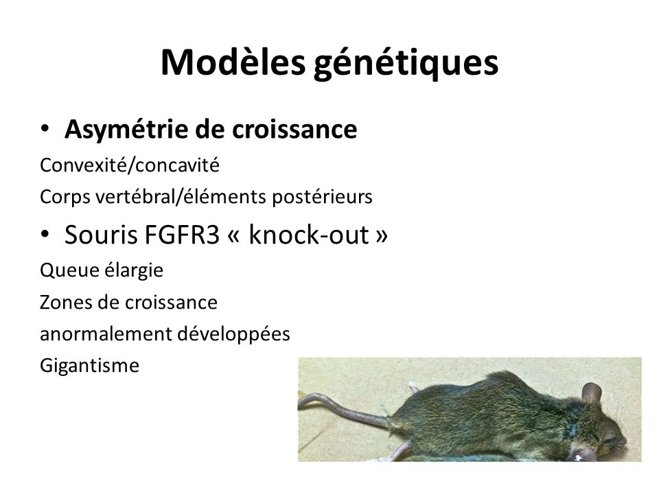Modèles génétiques Asymétrie de croissance Souris FGFR3 « knock-out »