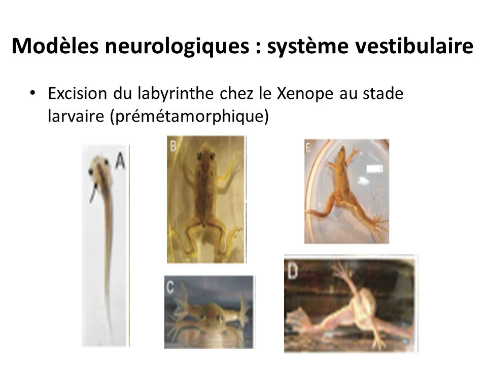 Modèles neurologiques : système vestibulaire