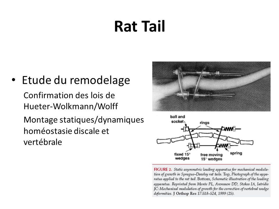 Rat Tail Etude du remodelage