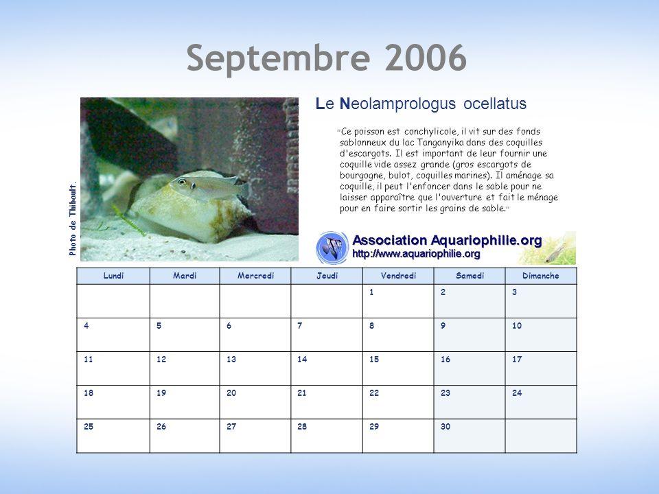Septembre 2006 Le Neolamprologus ocellatus