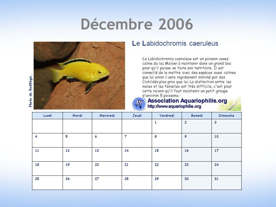 Décembre 2006 Le Labidochromis caeruleus
