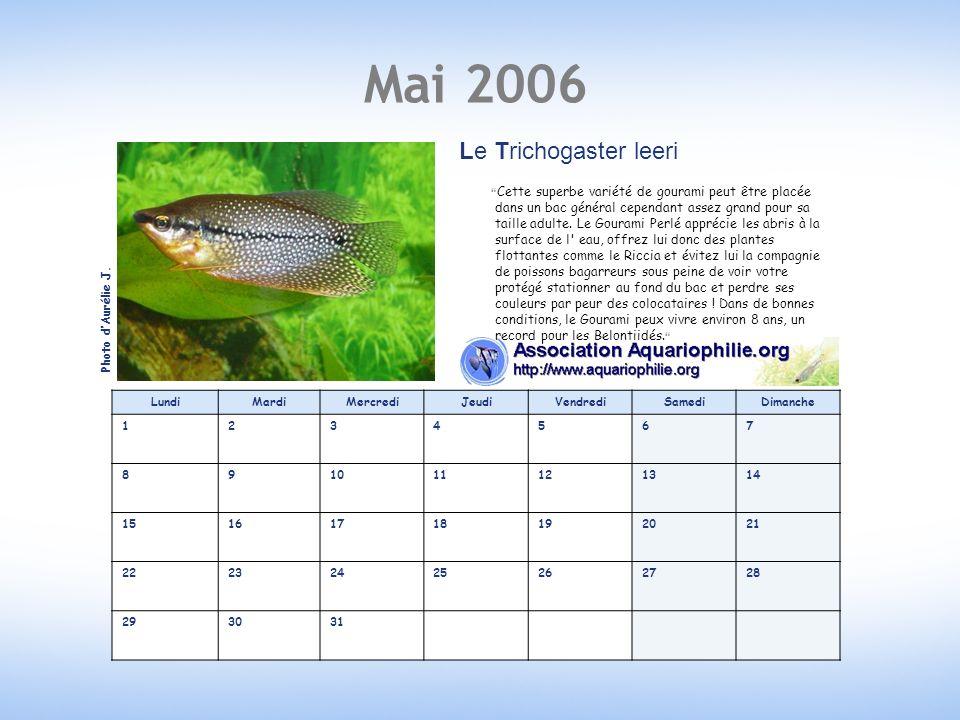 Mai 2006 Le Trichogaster leeri