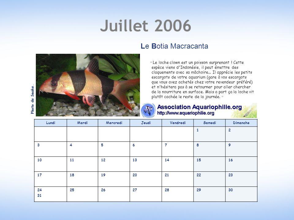 Juillet 2006 Le Botia Macracanta