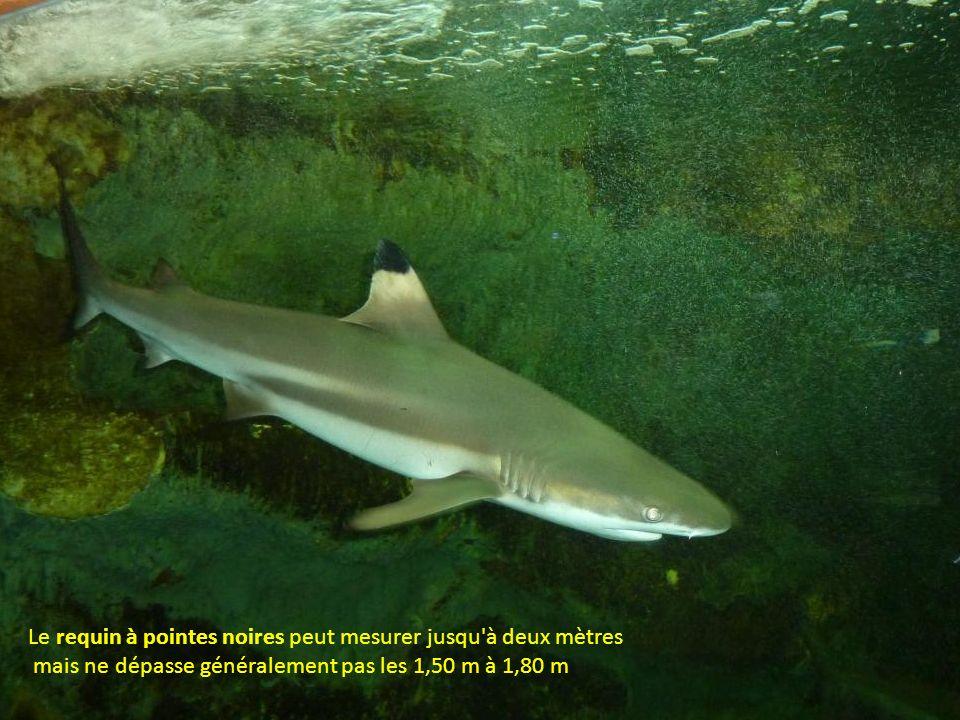 Le requin à pointes noires peut mesurer jusqu à deux mètres